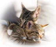 Abbracciare di due gattini Fotografia Stock