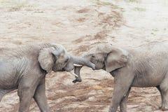 Abbracciare gli elefanti Fotografie Stock Libere da Diritti