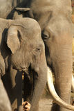 Abbracciare maschio e femminile degli elefanti Immagini Stock Libere da Diritti