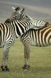Abbraccio della zebra Fotografia Stock