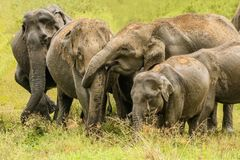 Abbraccio selvaggio del tronco degli elefanti Fotografia Stock
