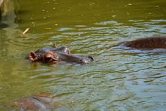 Abbronzature dell'ippopotamo Immagini Stock