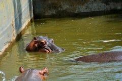 Abbronzature dell'ippopotamo Fotografia Stock Libera da Diritti