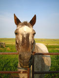 Abby the Horse. It almost seems like  Abby is smiling on this warm August afternoon Royalty Free Stock Image