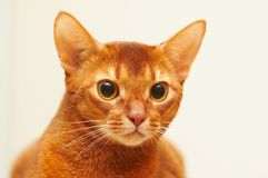 Abbyssinian Images stock