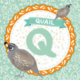 ABC animals Q is quail. Childrens english alphabet. Vector. Illustration stock illustration