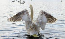 Łabędź, łopotań skrzydła Obrazy Royalty Free