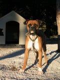 Abdeckunghund Lizenzfreies Stockfoto