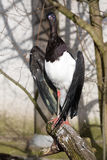 Abdi's stork, Ciconia abdimii, standing on a branch Stock Photo