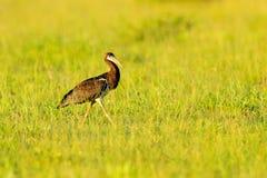 Abdim的白鼓起的鹳,Ciconia abdimii,走在草,奥卡万戈三角洲,Moremi,博茨瓦纳 有鸟的河在非洲 库存照片