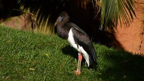 Abdim ` s bocianowy ptak w naturalnym parku - Ciconia abdimii zbiory