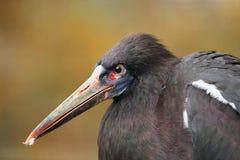 Abdim's stork Royalty Free Stock Photography