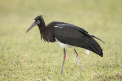 An Abdim's Stork in the Ngorongoro Crater, Tanzania Stock Photo