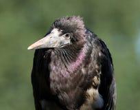 Abdim's Stork Stock Images