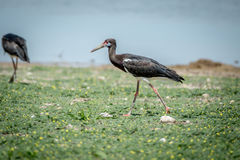 Abdim's stork walking in the grass. Stock Photo