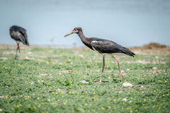 Abdim's stork walking in the grass. Royalty Free Stock Photos