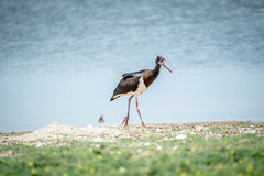 Abdim's stork walking in the grass. Stock Images