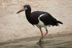 Abdim's stork (Ciconia abdimii). Stock Photos