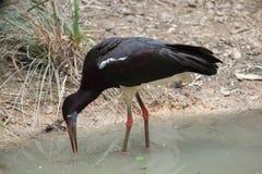 Abdim's stork (Ciconia abdimii) Stock Image