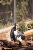 Abdims Stork Ciconia abdimii Stock Images