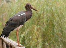 Abdims Stork (Ciconiaabdimiien) Fotografering för Bildbyråer