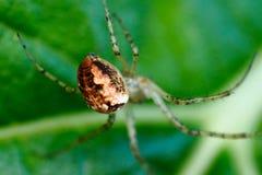 Abdomen d'une araignée aux pieds de peigne (arachnides) images stock