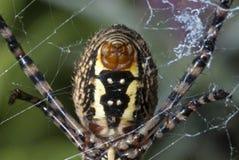 Abdomen de la araña Imagen de archivo libre de regalías
