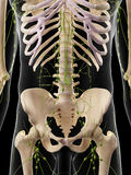 The abdominal lymph nodes. Medically accurate illustration of the abdominal lymph nodes Royalty Free Stock Photo
