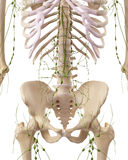 The abdominal lymph nodes. Medically accurate illustration of the abdominal lymph nodes Royalty Free Stock Photography