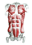 Abdominal muscles Royalty Free Stock Photography