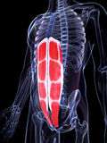 The abdominal muscles. 3d rendered illustration of the abdominal muscles Royalty Free Stock Photography