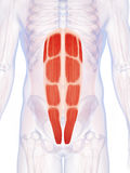 The abdominal muscles Stock Images