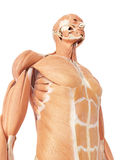 The abdominal muscles. Medical accurate illustration of the abdominal muscles Royalty Free Stock Photo