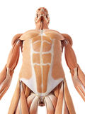 The abdominal muscles. Medical accurate illustration of the abdominal muscles Royalty Free Stock Image