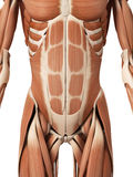 The abdominal muscles. Medical 3d illustration of the abdominal muscles Stock Photo