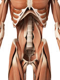The abdominal muscles. Medical 3d illustration of the abdominal muscles Royalty Free Stock Photo