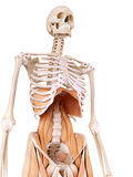 The abdominal muscles. Medically accurate anatomy illustration - abdominal muscles Stock Photography