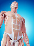 The abdominal muscles. Medically accurate illustration of the abdominal muscles Stock Photography