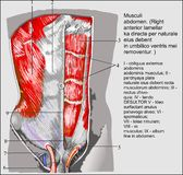 Abdominal muscles. Studied human anatomy in detail stock illustration