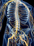 The abdominal nerves. Medically accurate illustration of the abdominal nerves Royalty Free Stock Images