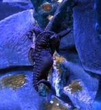 Abdominalis ιππόκαμπων μεγάλος-κοιλιών seahorse στοκ εικόνα με δικαίωμα ελεύθερης χρήσης