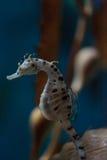 Abdominalis barrigones del hipocampo del seahorse Fotos de archivo libres de regalías