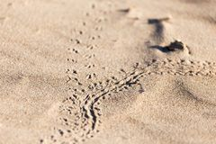 Abdrücke in der Sandeidechse Stockbild