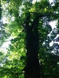Abe Tree Arkivbild