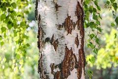 Abedul-árbol Fotos de archivo libres de regalías