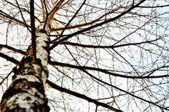 Abedul-árbol Fotos de archivo