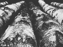 abedul-árbol de madera de la sección Imagen de archivo libre de regalías