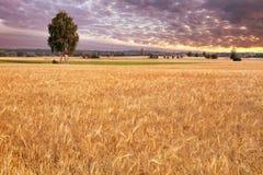 Abedul-árbol en el campo de trigo Foto de archivo