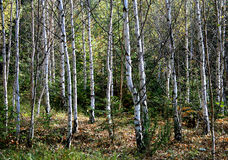 Abedul-árboles Imagen de archivo