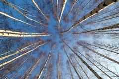 Abedul-árboles Imágenes de archivo libres de regalías